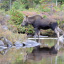 Moose - Baxter SP, ME