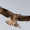 Osprey - Topsail Island, NC