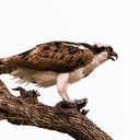 Osprey - Myakka River SP, FL