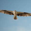 Osprey - Hog Island NWR VA