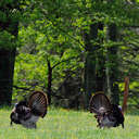 Wild Turkey - Great Smoky Mountains NP, TN