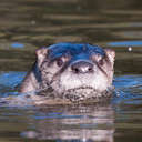 River Otter - Chincoteague NWR, VA