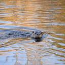 River Otter - Alligator River NWR, NC