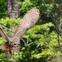 Great Horned Owl - Callaway Gardens, GA