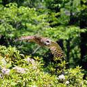 Barred Owl - Callaway Gardens, GA