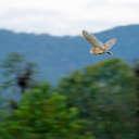 Barn Owl - Great Smoky Mountains NP, TN