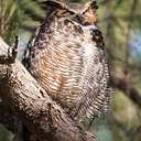 Great Horned Owl - Fort De Soto Park, FL
