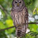 Barred Owl - Johns Creek, GA