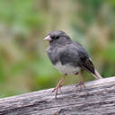 Slate-colored Junco - Brasstown Bald, GA