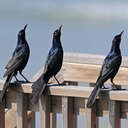 Boat-tailed Grackle - Topsail Beach, NC