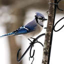 Blue Jay - Johns Creek, GA