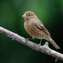 House Finch - Johns Creek, GA