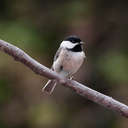 Carolina Chickadee - Johns Creek, GA
