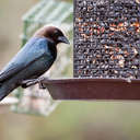 Brown-headed Cowbird - Johns Creek, GA