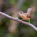 Carolina Wren - Johns Creek, GA