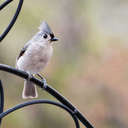 Tufted Titmouse - Johns Creek, GA