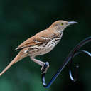 Brown Thrasher - Johns Creek, GA