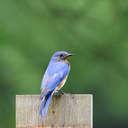 Eastern Bluebird - Smithgall Woods, GA