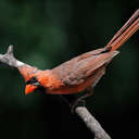 Cardinal - Johns Creek, GA