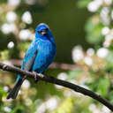 Indigo Bunting - Great Smoky Mountains NP, TN