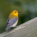 Prothonotary Warbler - Newport News Park VA