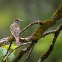 Great Crested Flycatcher - Great Smoky Mountains NP, TN
