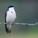 Tree Swallow - Great Smoky Mountains NP, TN