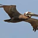 Brown Pelican - Topsail Island, NC