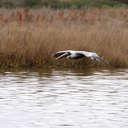 Brown Pelican - Pea Island NWR, NC