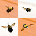 Bumble Bees - Johns Creek, GA