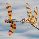 Dragonflies - Back Bay NWR, VA