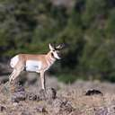 Pronghorn - Yellowstone NP - WY