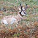 Pronghorn - Custer SP - SD
