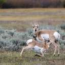 Pronghorn - Grand Teton NP - WY