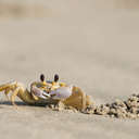 Ghost Crab - Back Bay NWR, VA