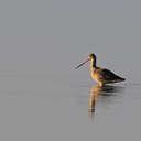 Marbled Godwit - Pea Island NWR, NC
