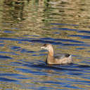 Pied-billed Grebe - Savannah NWR, SC