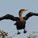 Cormorant - Savannah NWR, SC