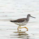 Greater Yellowlegs - Pea Island NWR, NC