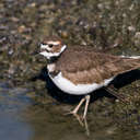 Killdeer - Sylvan Heights, NC
