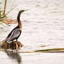 Anhinga - Viera Wetlands, FL