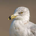 Ring-billed Gull - Back Bay NWR, VA