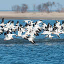 Snow Geese - Chincoteague NWR, VA