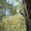 Red-headed Woodpecker - Cochran Shoals, GA