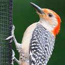 Red-bellied Woodpecker - Johns Creek, GA