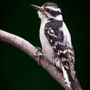Downy Woodpecker - Johns Creek, GA