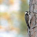 Red-cockaded Woodpecker - Piedmont NWR, GA