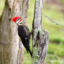 Pileated Woodpecker - Great Smoky Mountains NP, TN