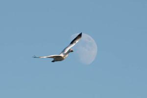 Snow_Goose_Moon