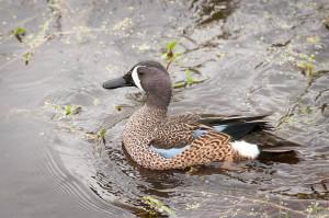 Blue-winged Teal - Viera Wetlands FL